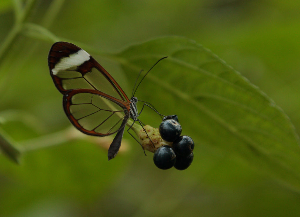 Glasswing Butterfly.