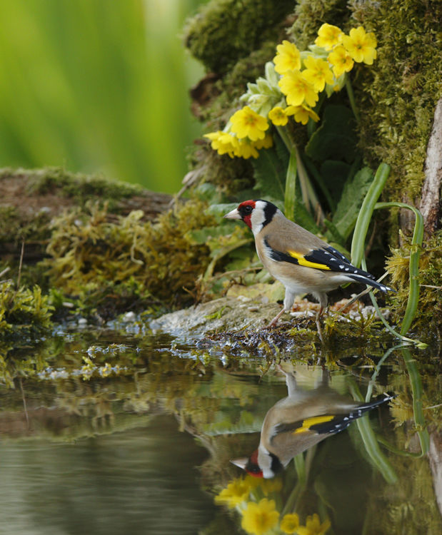 Goldfinch Reflection