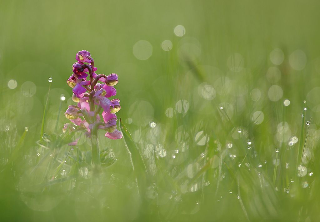 Green winged orchid in dawn dew