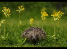 Hedgehog in cowslips no1