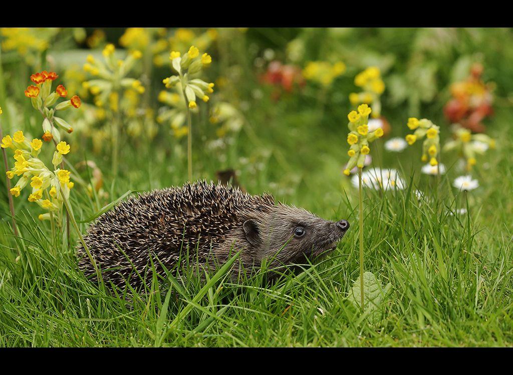 Hedgehog in snowslips no2