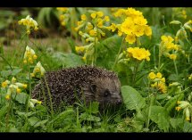 Hedgehogs in cowslips no3