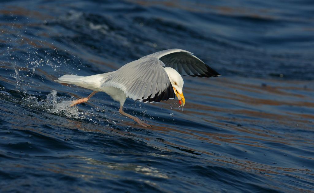 Herring Gull 3.