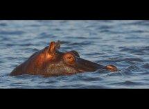 Hippo no2