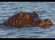 Hippo no3