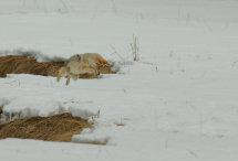 Hunting Coyote no 3.