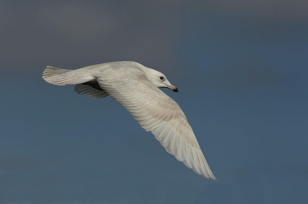 Icelandic Gull 2.