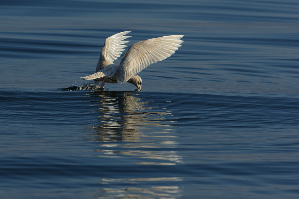 Icelandic Gull Feeding.