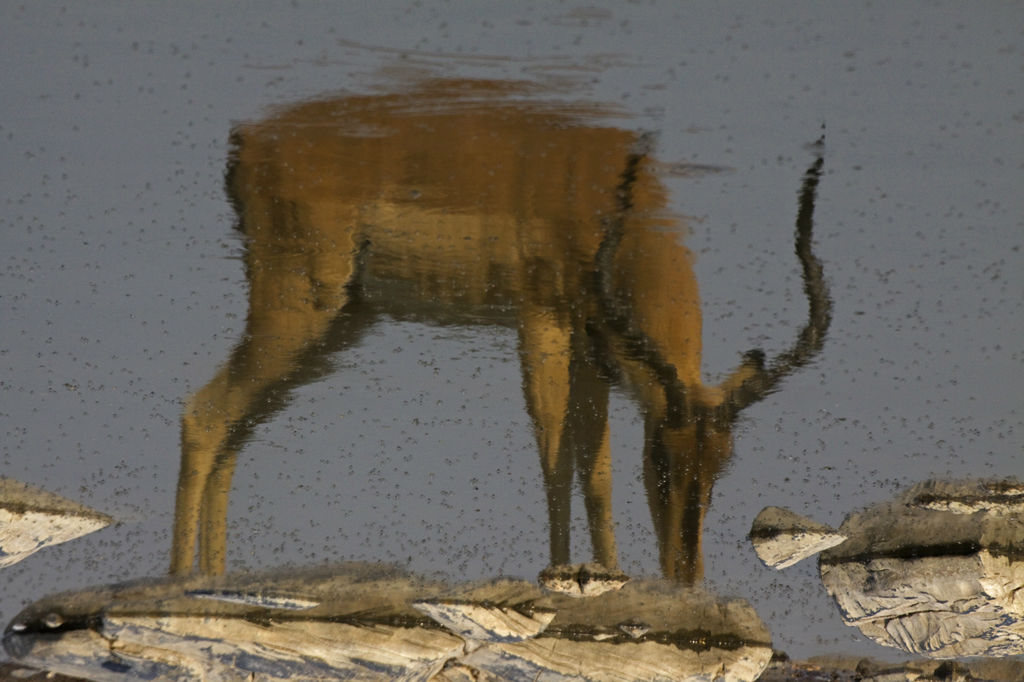Impala Reflection.