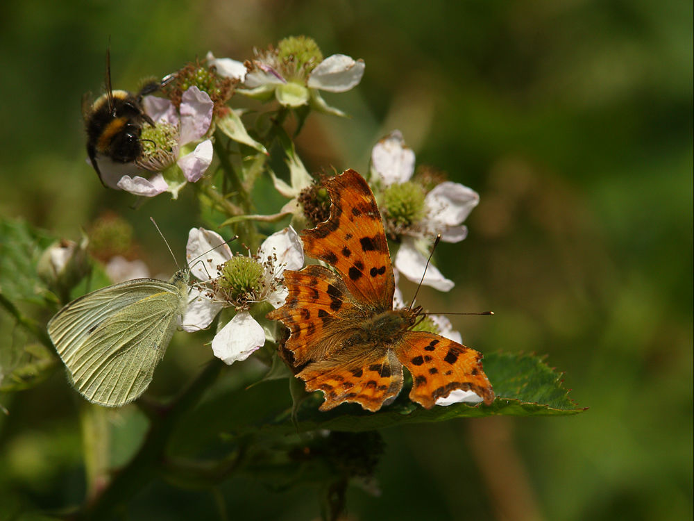 Insects on Bramble Flowers.