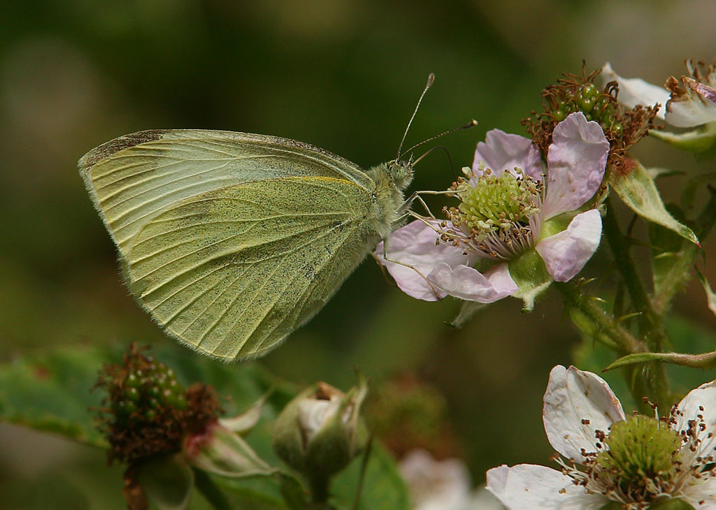 Large White on Bramble.