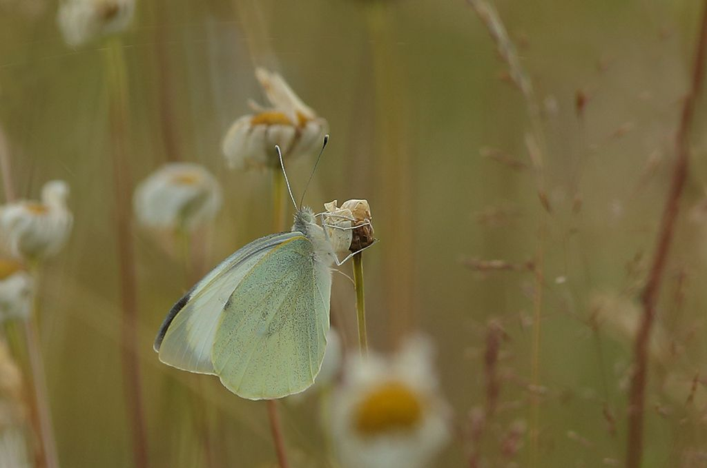 Large white in meadow