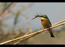 Little Bee Eater no4