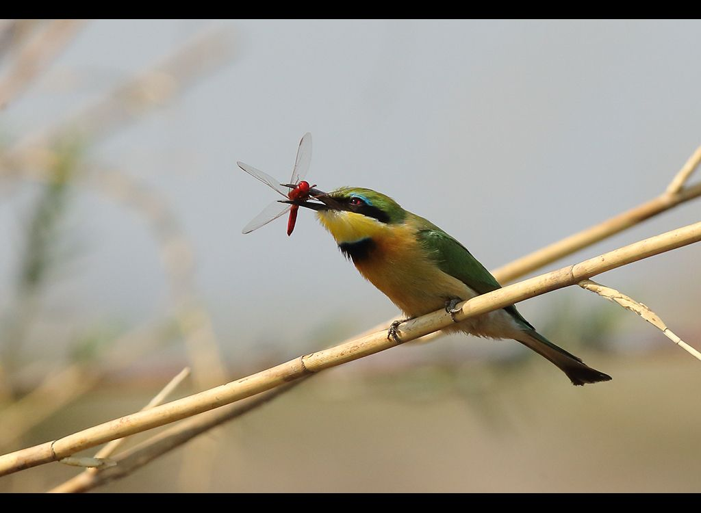 Little Bee Eater no 3