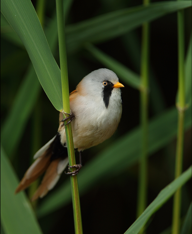 Male Bearded Tit