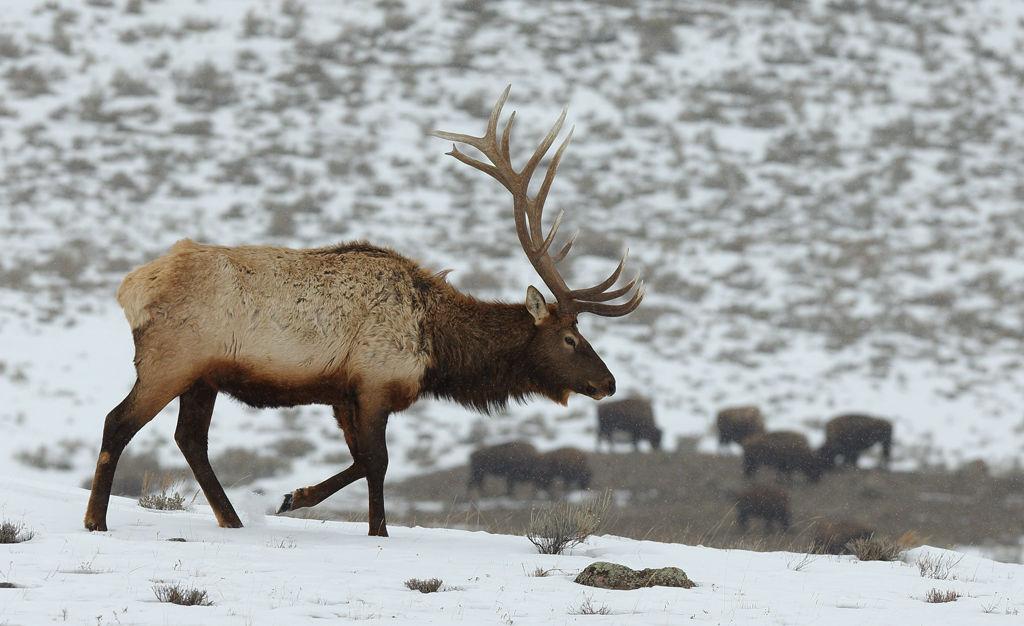 Male Elk
