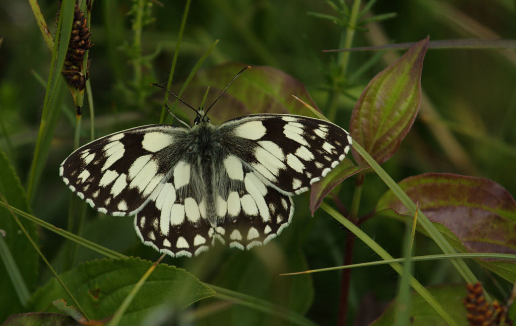 Marbled White (male).