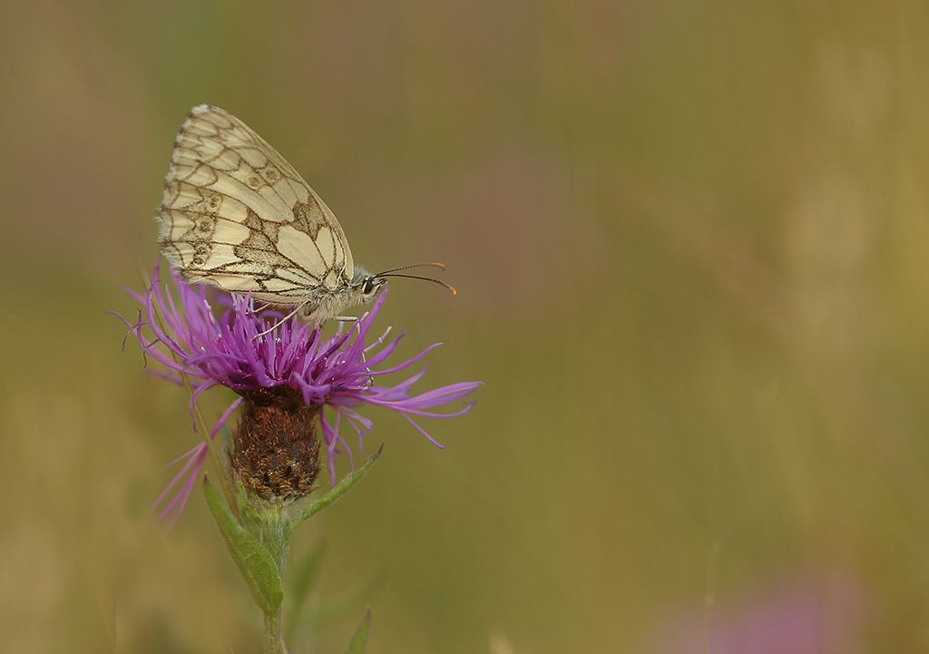 Marbled white (2)
