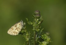 Marbled white in dawn light
