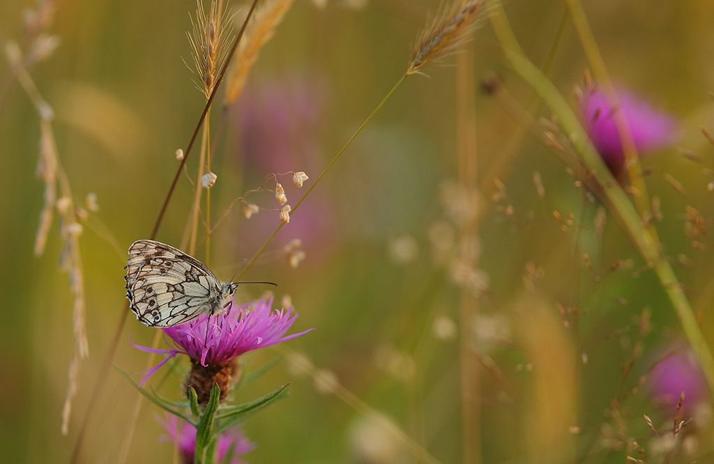 Marbled white in flower meadow