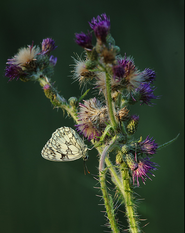 Marbled white in thistle