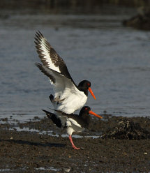 Mating Oystercatchers.