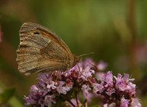 Meadow Brown. (2)