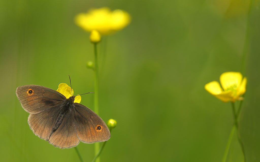 Meadow brown on buttercups