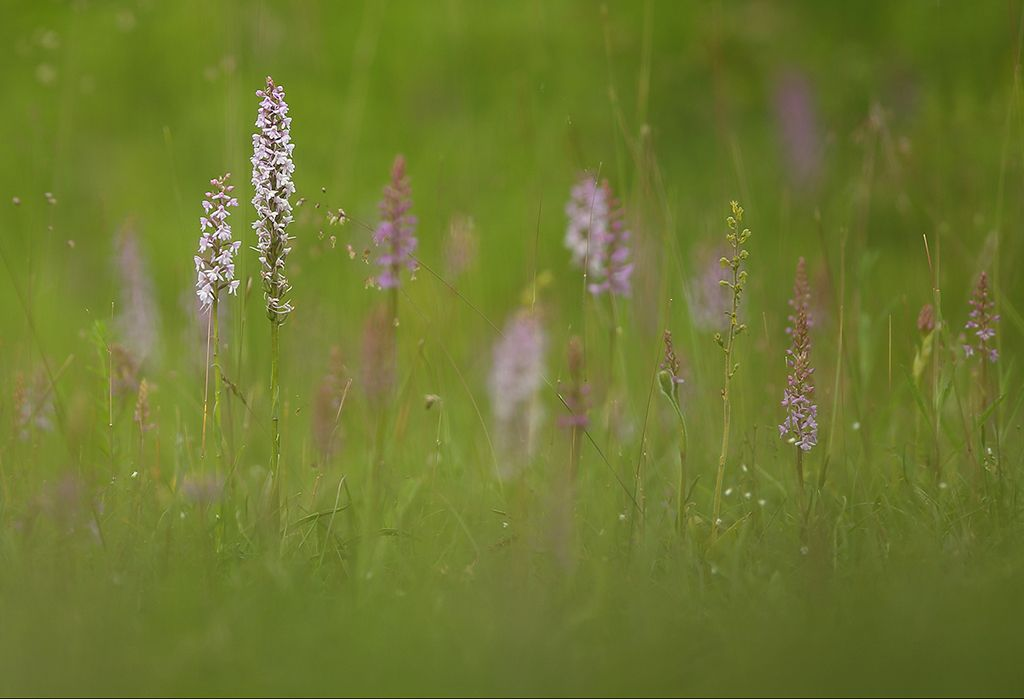 Orchid meadow (4)