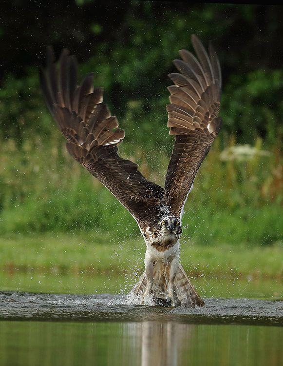 Osprey (3)
