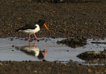 Oystercatcher Reflection.
