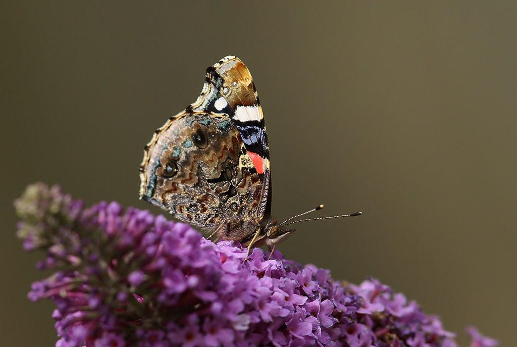 Red Admiral Butterfly (closed).