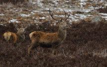 Red Deer (2)