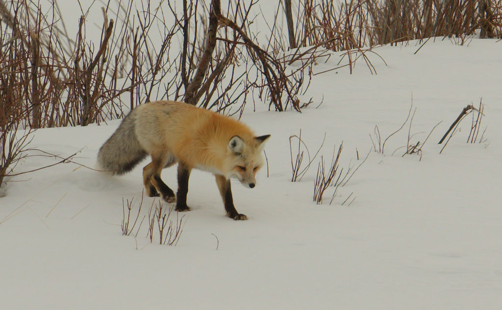 Red Fox no4