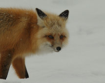 Red fox no1.