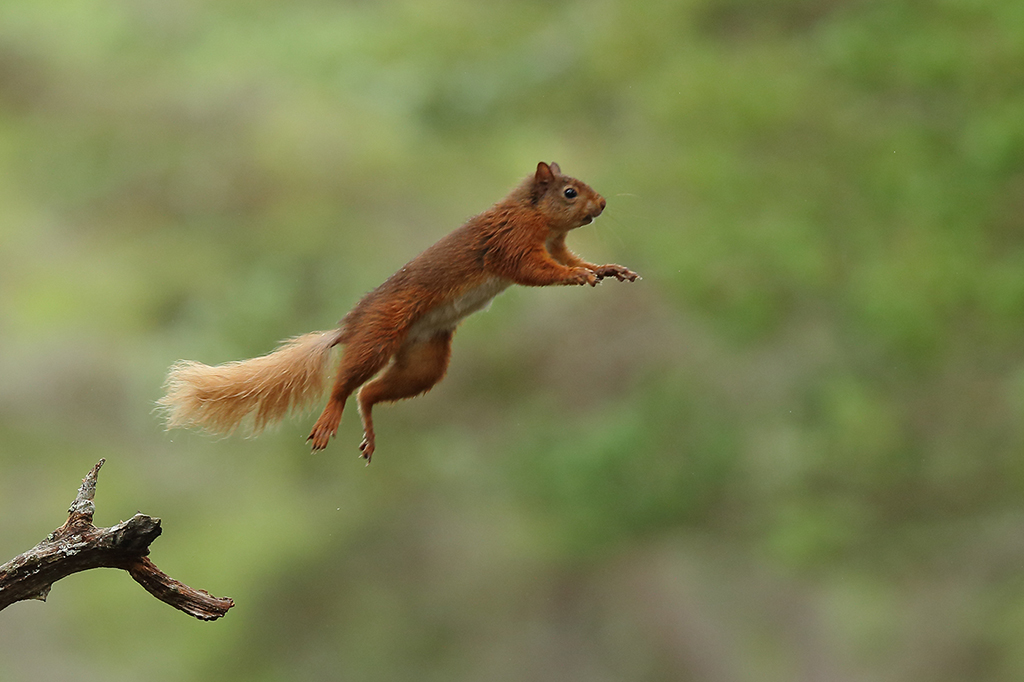 Red squirrel leap 1