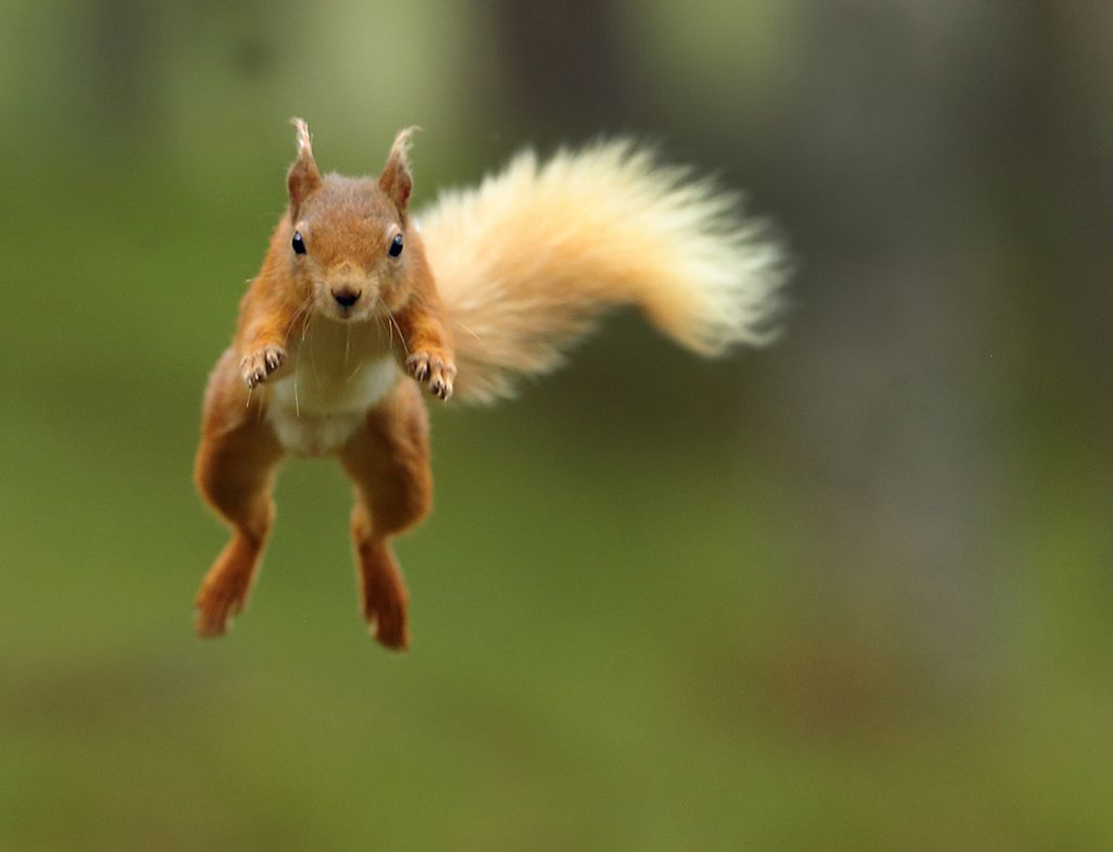 Red squirrel leap 2