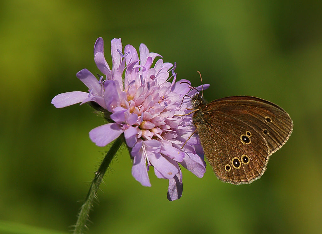 Ringlet Butterfly.