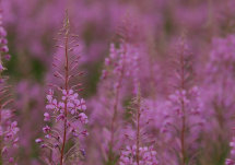 Rosebay Willowherb (2)
