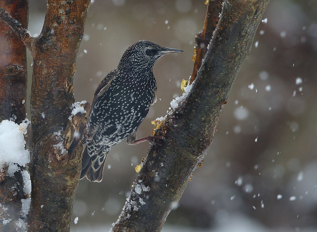 Starling in snow no3