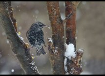 Starling in snow no4