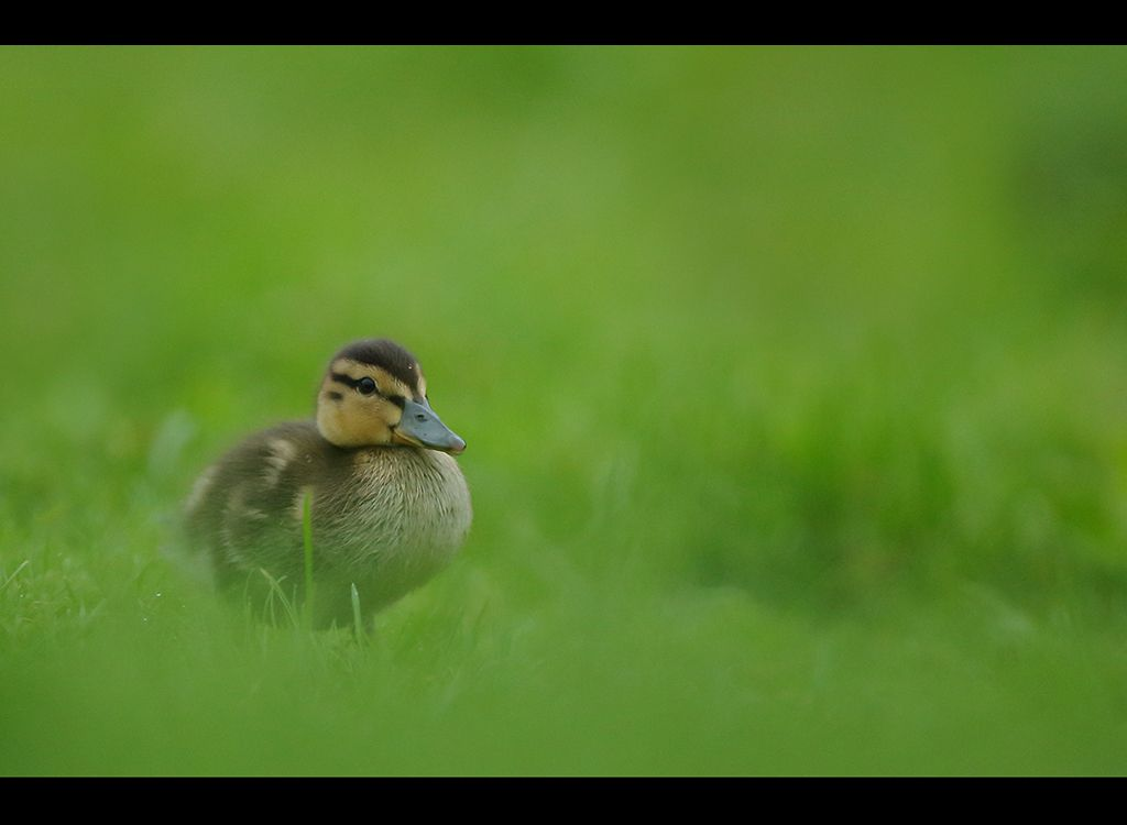 Teal no 8 ( duckling ).