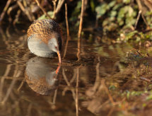 Water Rail Reflection.