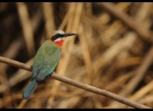 White Fronted Bee eater no 1