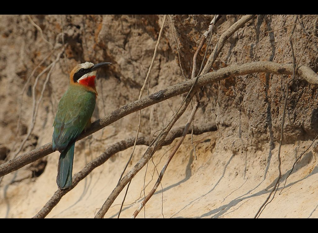 White Fronted Bee eater no 2