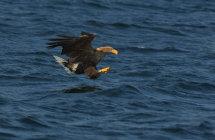 White Tailed Sea Eagle 2.