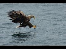 White tailed sea eagle (10)