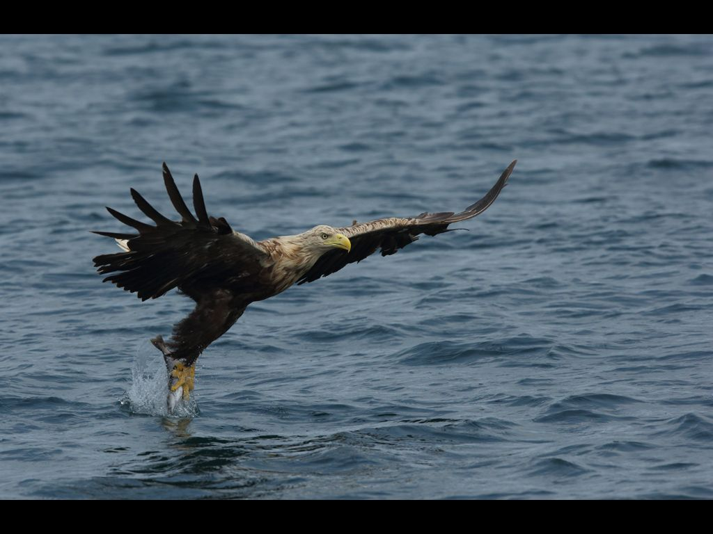 White tailed sea eagle (13)