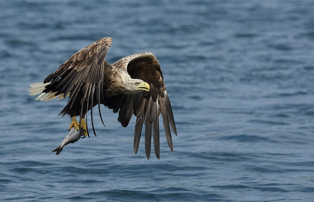 White tailed sea eagle (16)