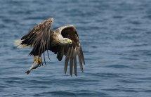 White tailed sea eagle (16)